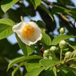 2013沙羅の木(夏椿)