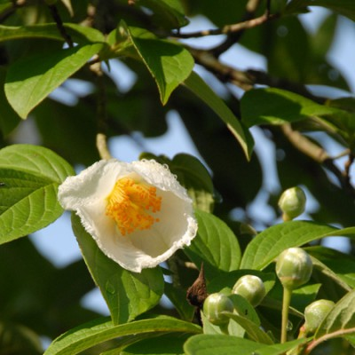 沙羅の木(夏椿)